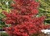 arborele-liquidambar-styraciflua-poze