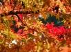 flori-frunze-arbore-liquidambar-styraciflua