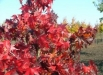 frunze-arbori-liquidambar-styraciflua