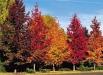 liquidambar-styraciflua-arbori