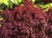 berberis-flori-poze