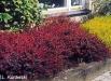 berberis-flowers