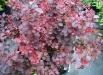 berberis-royal-burgundy