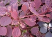 flori-berberis-poze