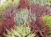 calluna-vulgaris-flori-de-toamna