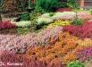 calluna_vulgaris-garden