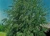 mesteacan-copaci-gradina