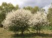 paducel-copac-gradina