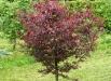 prun-rosu-copaci-gradina