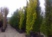 ulm-auriu-coloana-copaci-gradina
