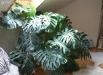 filodendron-monstera-deliciosa-flori