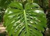 filodendron-monstera-deliciosa-ingrijire