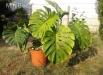 filodendron-monstera-deliciosa-plante-interior