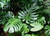 filodendron-monstera-deliciosa