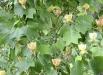 arborele-lalea-liriodendron-tulipifera-poze