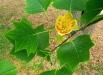 liriodendron_tulipifera_arborele-lalea