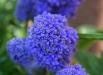muscari-plumosum-blue