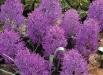 muscari-plumosum-poze