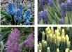 muscari-plumosum-soiuri-plante