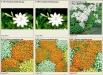 nertera-granadensis-flori