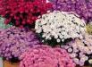 aster-dumosus-ochiul-boului-flori