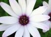 aster-novae-angliae-flori-de-toamna