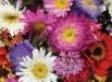 floare-ochiul-boului-culori