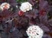 physocarpus_diablo-flori