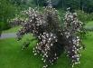 physocarpus_opulifolius_diablo-tufa
