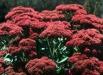 sedum-red-flori