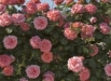 flori-trandafirul-guy-savoy-poze