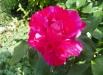 guy-savoy-trandafiri-poze