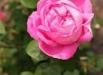 trandafirii-guy-savoy-poze