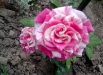 trandafirul-guy-savoy