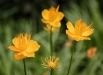 flori-trollius-chinensis