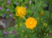 trollius_chinensis_gold_queen