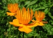 trollius_chinensis_golden-queen-poze