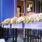 Flori pentru balcon, flori pentru terasa