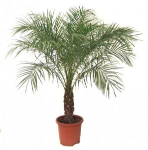 palmier ghiveci 2
