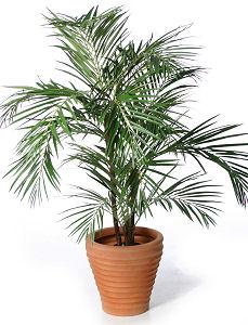 palmier ghiveci