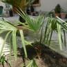 palmier gradina