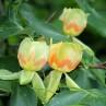 liriodendron_tulipifera_poze