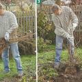 plantarea arbustilor cu radacini goale