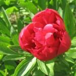 Flori usor de cultivat in gradina